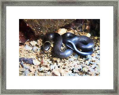 Northern Ringneck Snake Framed Print by JC Findley