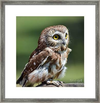 Northern Saw Whet Owl Framed Print