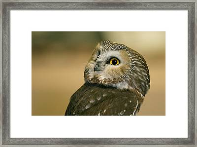 Northern Saw-whet Owl Framed Print