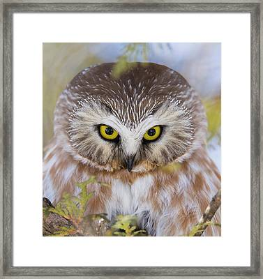 Framed Print featuring the photograph Northern Saw-whet Owl Portrait by Mircea Costina Photography