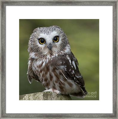Northern Saw-whet Owl Framed Print by Rebecca Miller