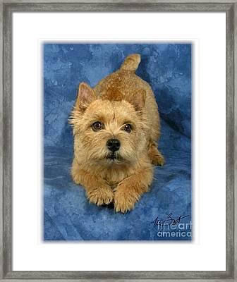 Norwich Terrier Pup Framed Print by Maxine Bochnia