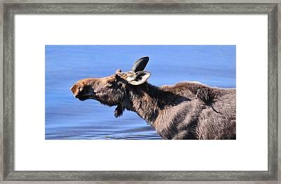Nose First - Moose Framed Print