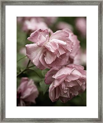 Framed Print featuring the photograph Nostalgic Roses by Frank Tschakert