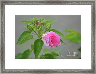 Not Fully Opened  Framed Print by Ruth Housley