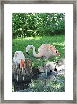Not Plastic All Pink Flamingo  Framed Print