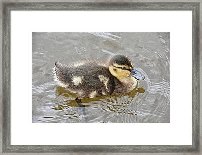 Not So Ugly Duckling Framed Print