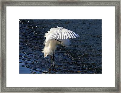 Not Under Here - Birds - Snowy Egret Framed Print by HH Photography of Florida