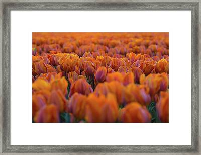 Nothing But Tulips Framed Print