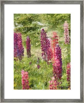 Nova Scotia Lupine Flowers Framed Print by Jeff Kolker