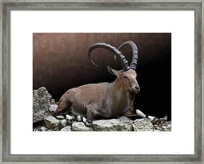 Nubian Ibex Portrait Framed Print