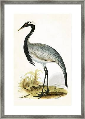 Numidian Crane Framed Print by English School