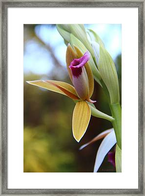 Nun's Cap Orchid - 1 Framed Print