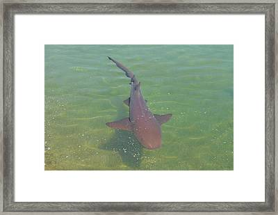 Nurse Shark Framed Print