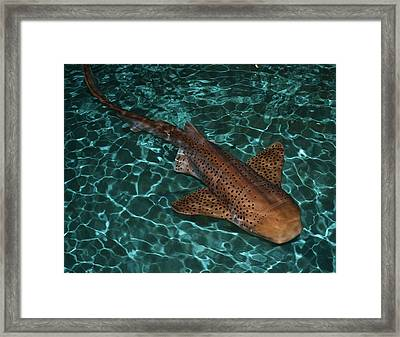 Nurse Shark Framed Print by Mary Zeman