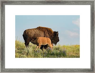 Nursing Bison Family Framed Print