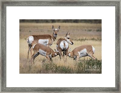 Nursing Pronghorn Framed Print by Jerry Fornarotto