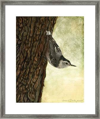Nuthatch Acrobat Framed Print by Susan Donley