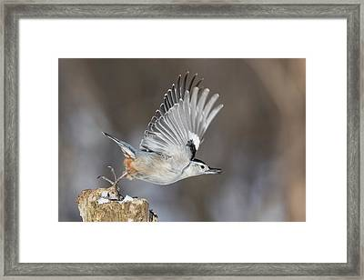 Framed Print featuring the photograph Nuthatch In Action by Mircea Costina Photography