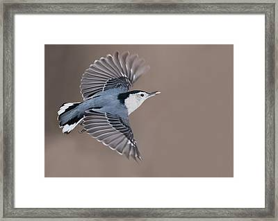 Framed Print featuring the photograph Nuthatch In Flight by Mircea Costina Photography