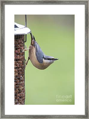 Nuthatch Framed Print by Tim Gainey