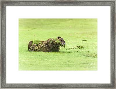 Nutria In A Pesto Sauce Framed Print by Robert Frederick