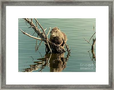 Framed Print featuring the photograph Nutria On Stick-up by Robert Frederick