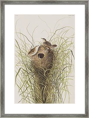 Nuttall's Lesser-marsh Wren  Framed Print by John James Audubon
