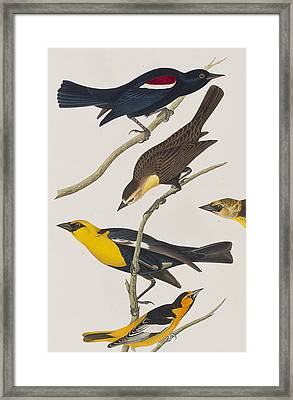 Nuttall's Starling Yellow-headed Troopial Bullock's Oriole Framed Print by John James Audubon