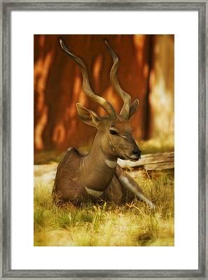 Nyala 3 Framed Print