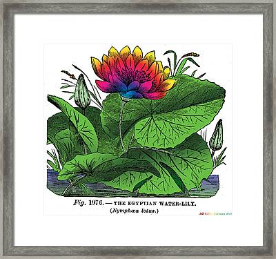 Nymphaea Framed Print by Eric Edelman