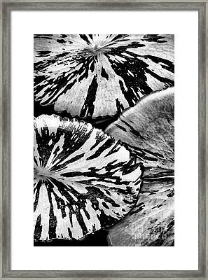 Nymphaea Foxfire Lily Pads Framed Print