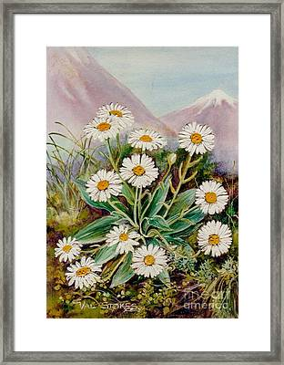 Nz Mountain Daisy Framed Print by Val Stokes