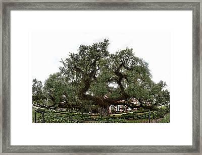 Oak Framed Print by Cecil Fuselier