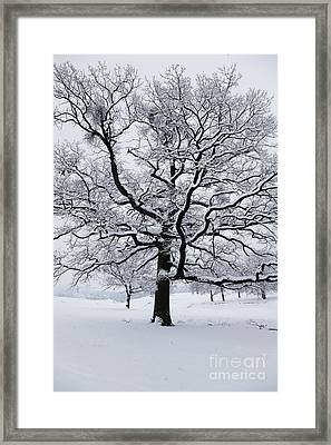 Oak Framed Print by Gabriela Insuratelu