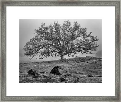 Oak In Fog Framed Print