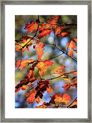 Oak Leaf Cluster Framed Print
