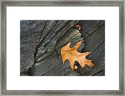 Oak Leaf On The Rocks Photo Framed Print by Peter J Sucy