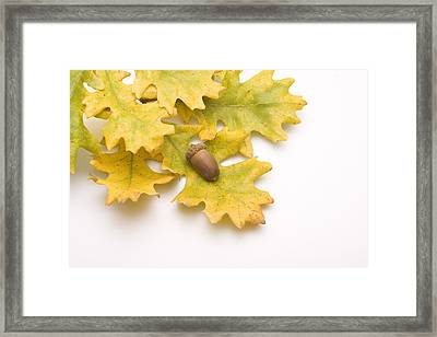 Oak Leaves And Acorns Framed Print