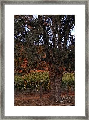 Oak Tree And Vineyards In Knight's Valley Framed Print by Charlene Mitchell