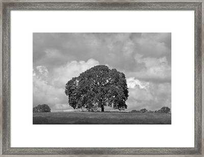 Oak Tree On Hill Framed Print