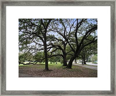 Oaks In Coliseum Park Framed Print by Tom Hefko