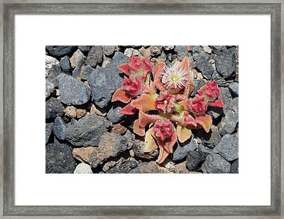 Oasis - Tenerife Ice Plant Framed Print