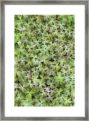 Oca Leaves Framed Print by Tim Gainey