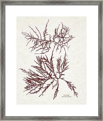 Ocean Seaweed Plant Art Laurencia Tenuissima Framed Print by Christina Rollo