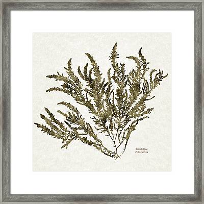 Ocean Seaweed Plant Art Ptilota Sericea Square Framed Print by Christina Rollo