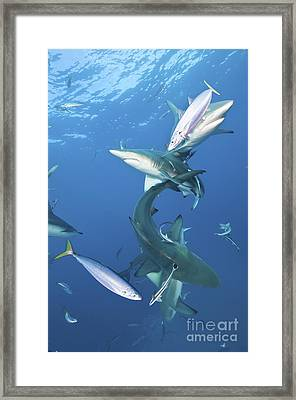 Oceanic Blacktip Sharks With Remora Framed Print