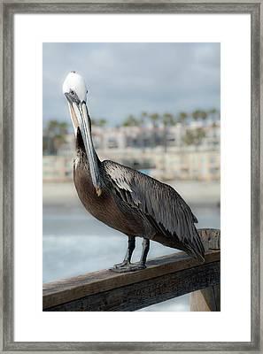 Oceanside Pelican Framed Print
