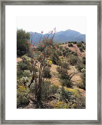 Ocotillo Blooms Framed Print