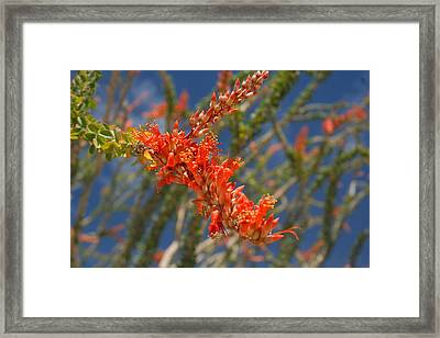 Ocotillo Blossomj Framed Print by Brian Lockett